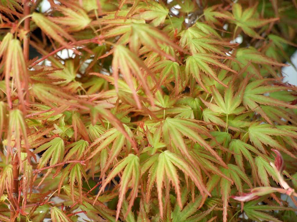 ACER - palmatum - Kamagata