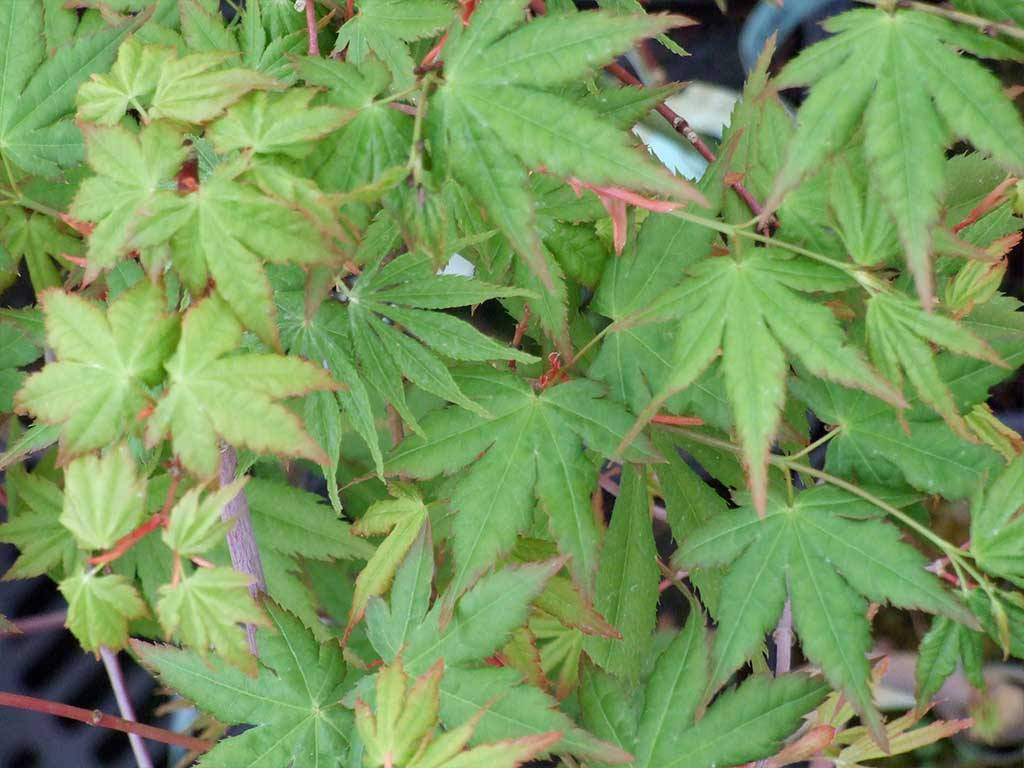 ACER - palmatum - Kaga o tamagawa