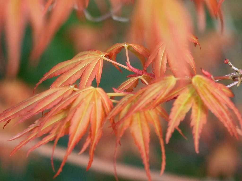 ACER - palmatum - Katsura