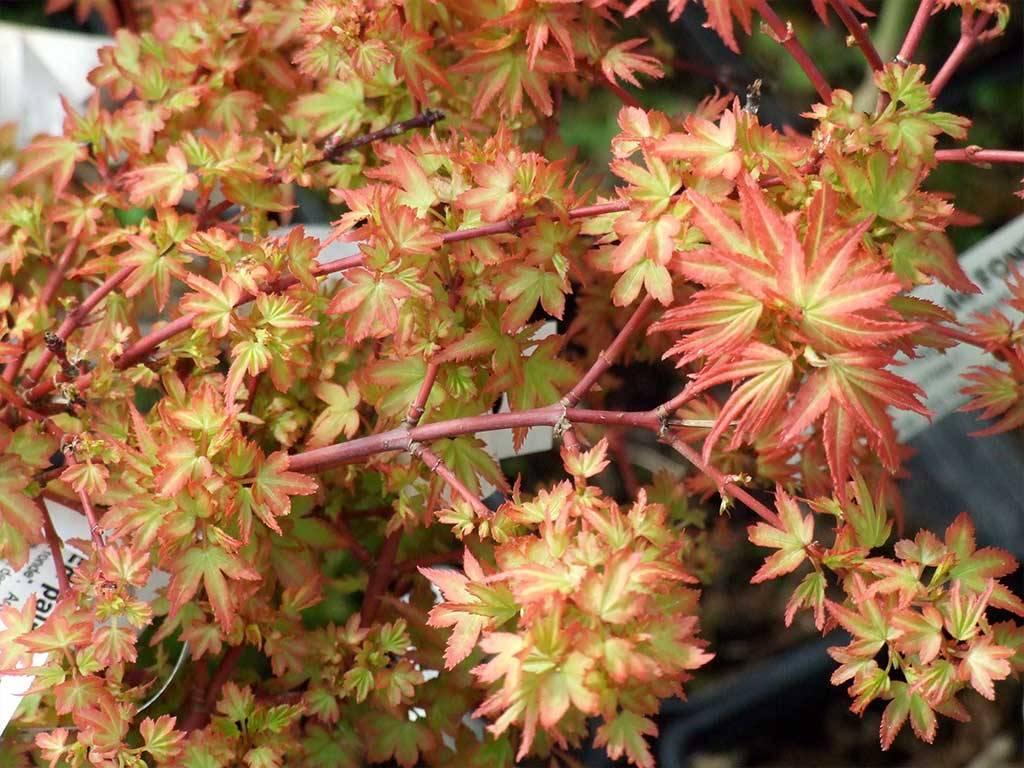 ACER - palmatum - Koto maru