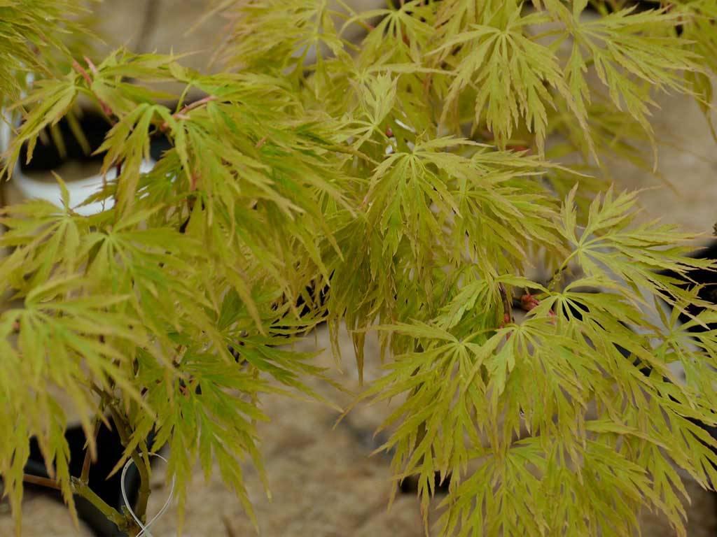 ACER - palmatum - Koyo ao shidare