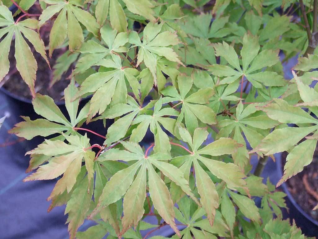 ACER - palmatum - Kurabu yama