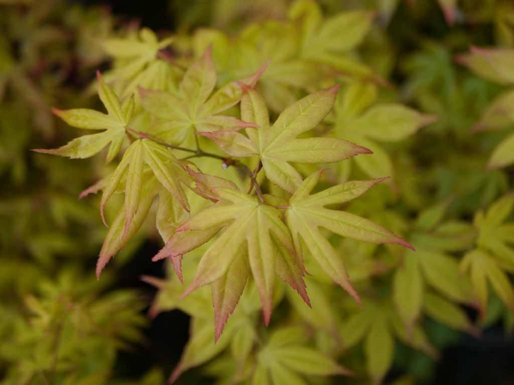ACER - palmatum - Lucky Star