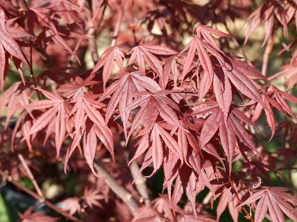 ACER - palmatum - Margaret Bee
