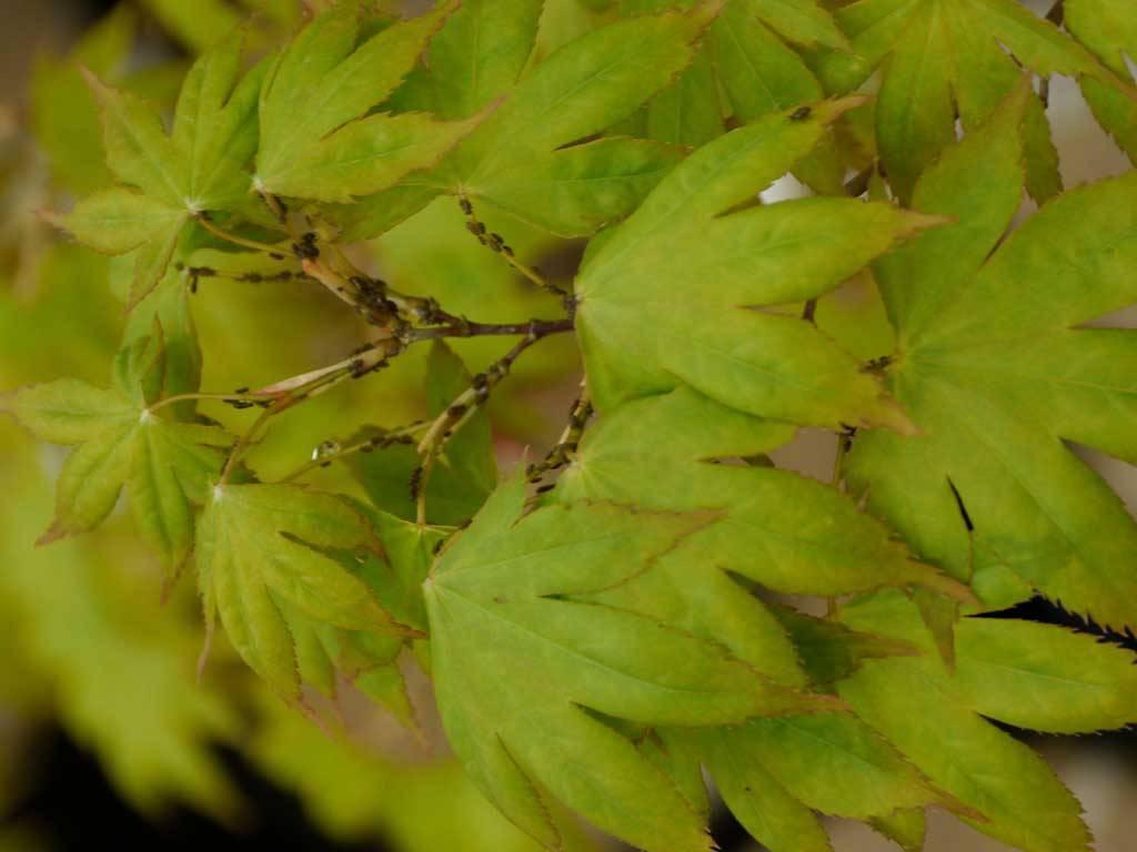 ACER - palmatum - Malon