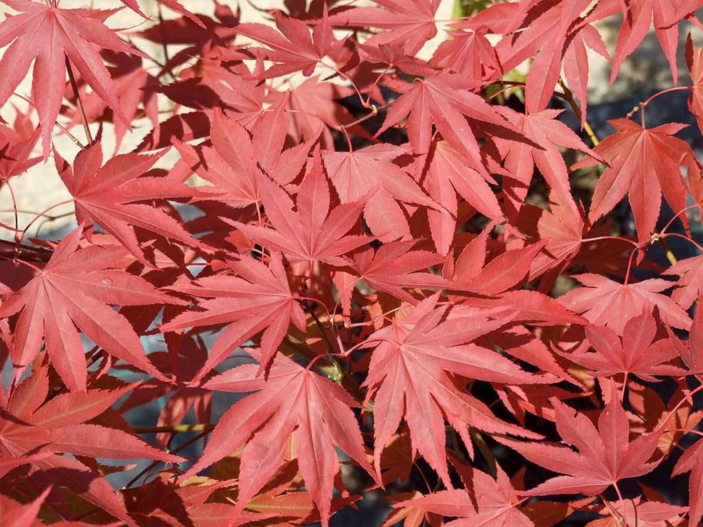 ACER - palmatum - Masu murasaki