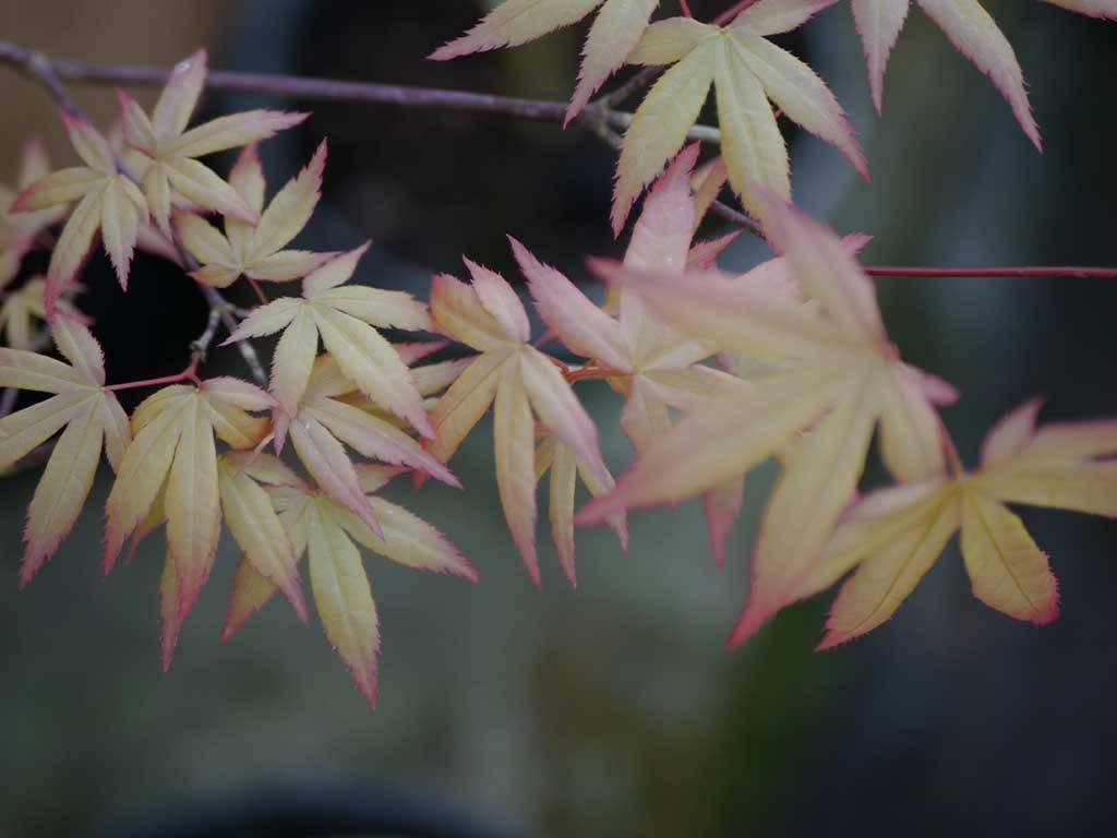 ACER - palmatum - Minowa