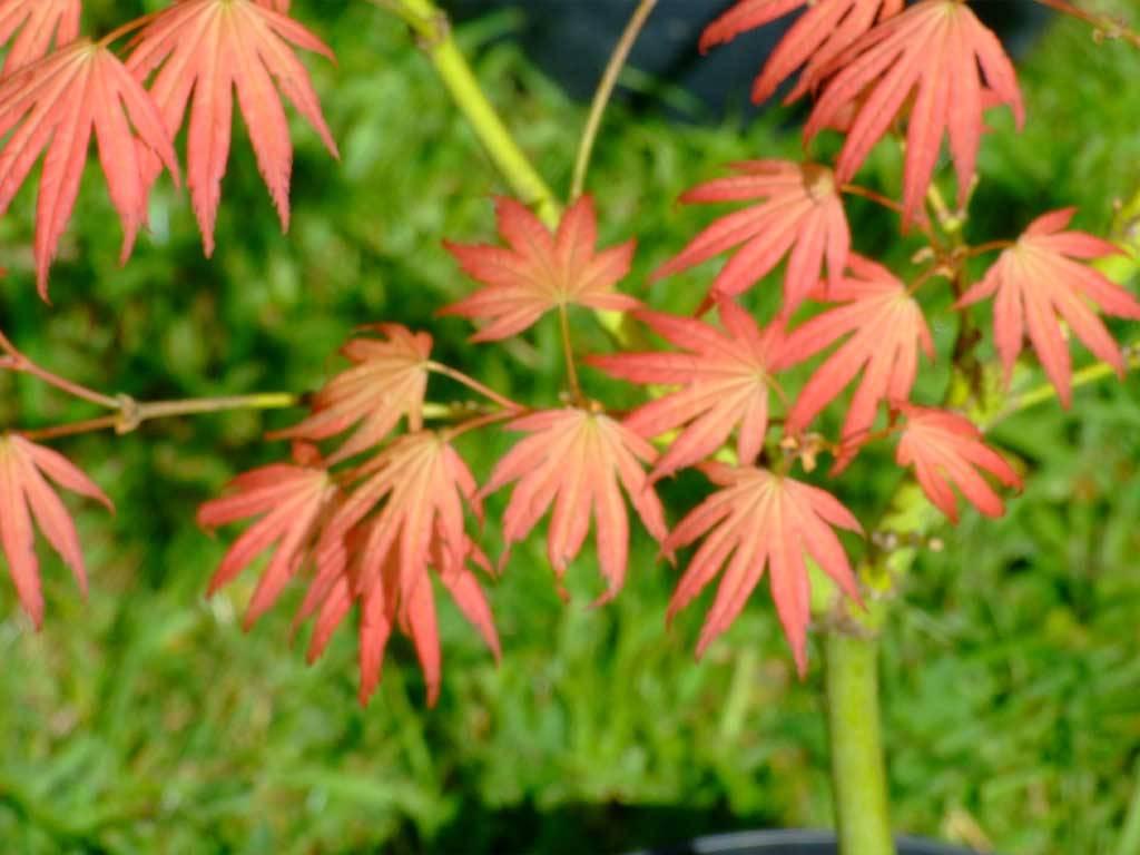 ACER - palmatum - Mikazuki
