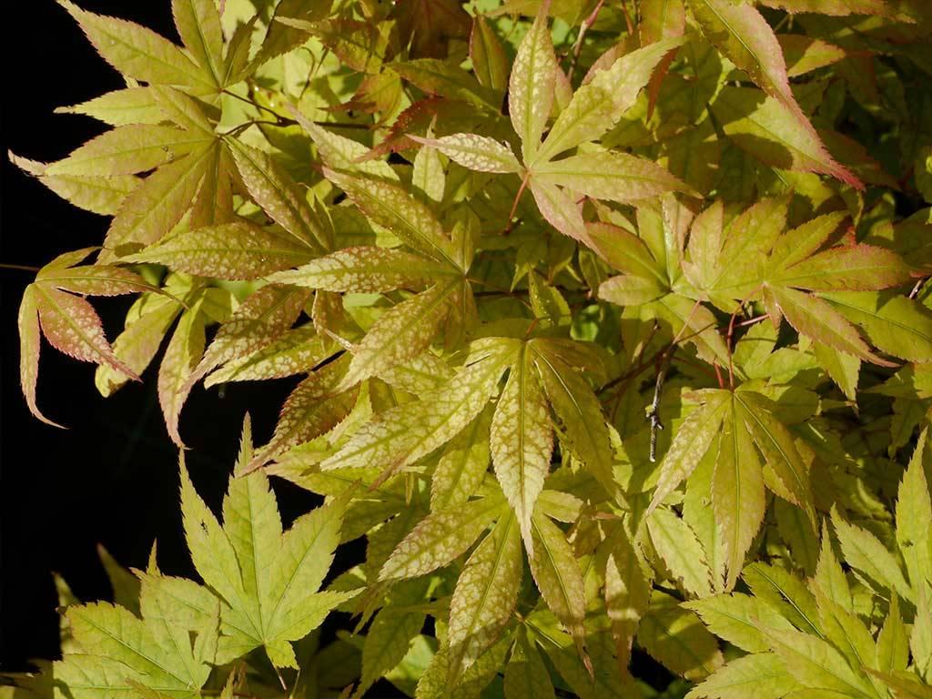 ACER - palmatum - Momiji gawa