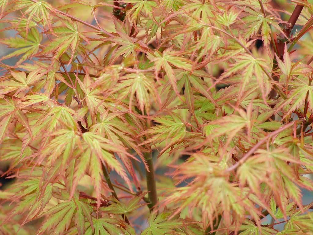 ACER - palmatum - Mure hibari