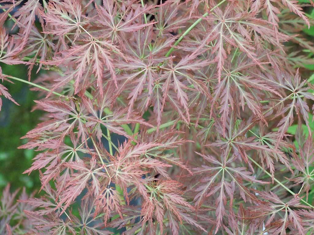 ACER - palmatum - Murakumo shidare