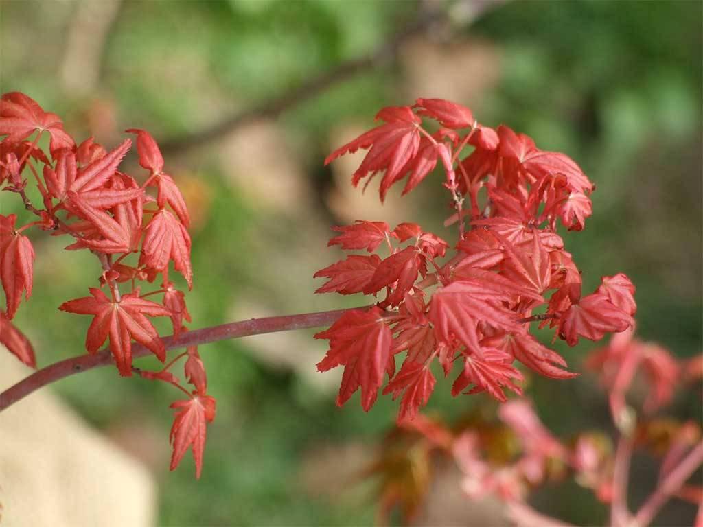 ACER - palmatum - Naniwa beni