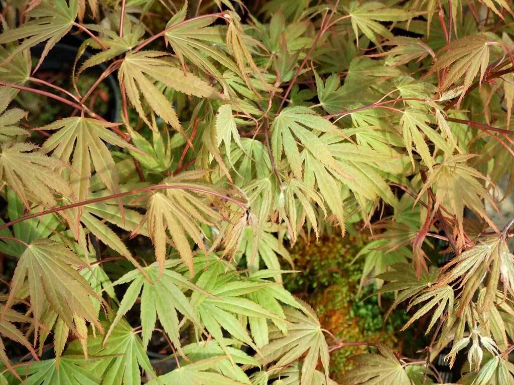 ACER - palmatum - Nicholsonii