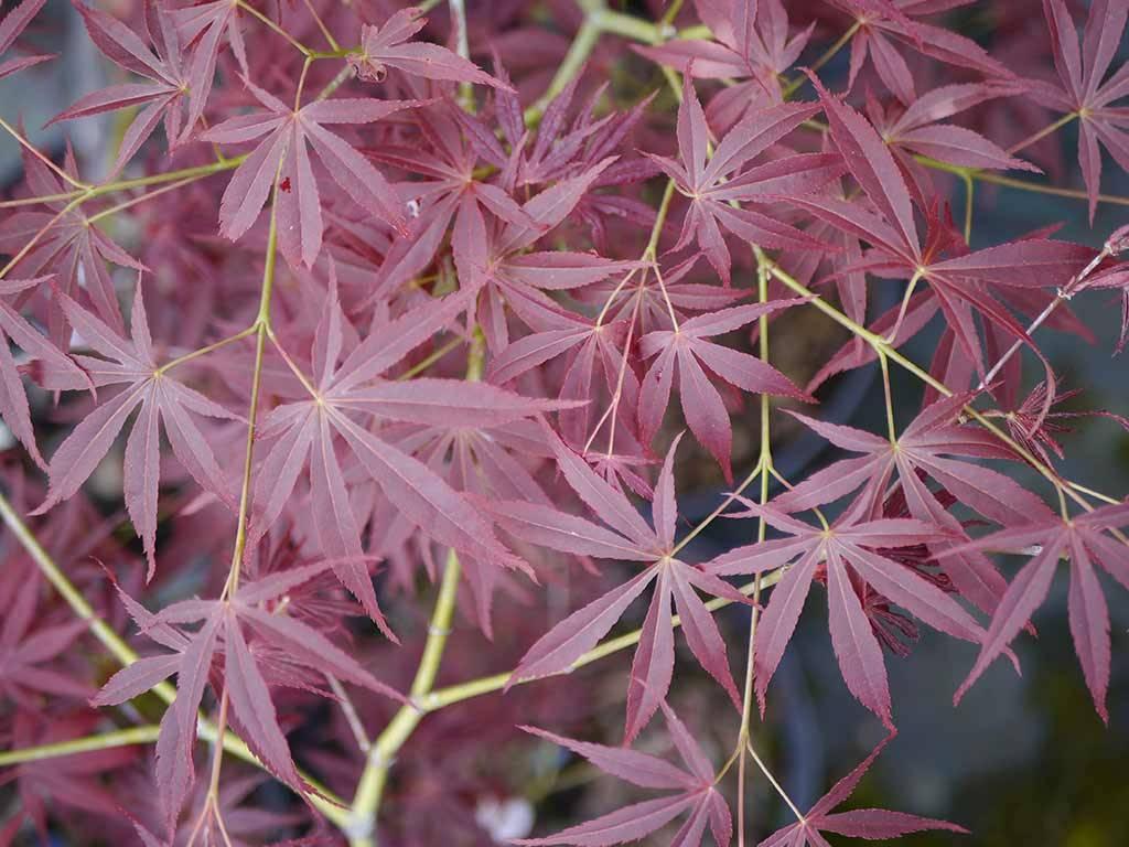 ACER - palmatum - Nimura