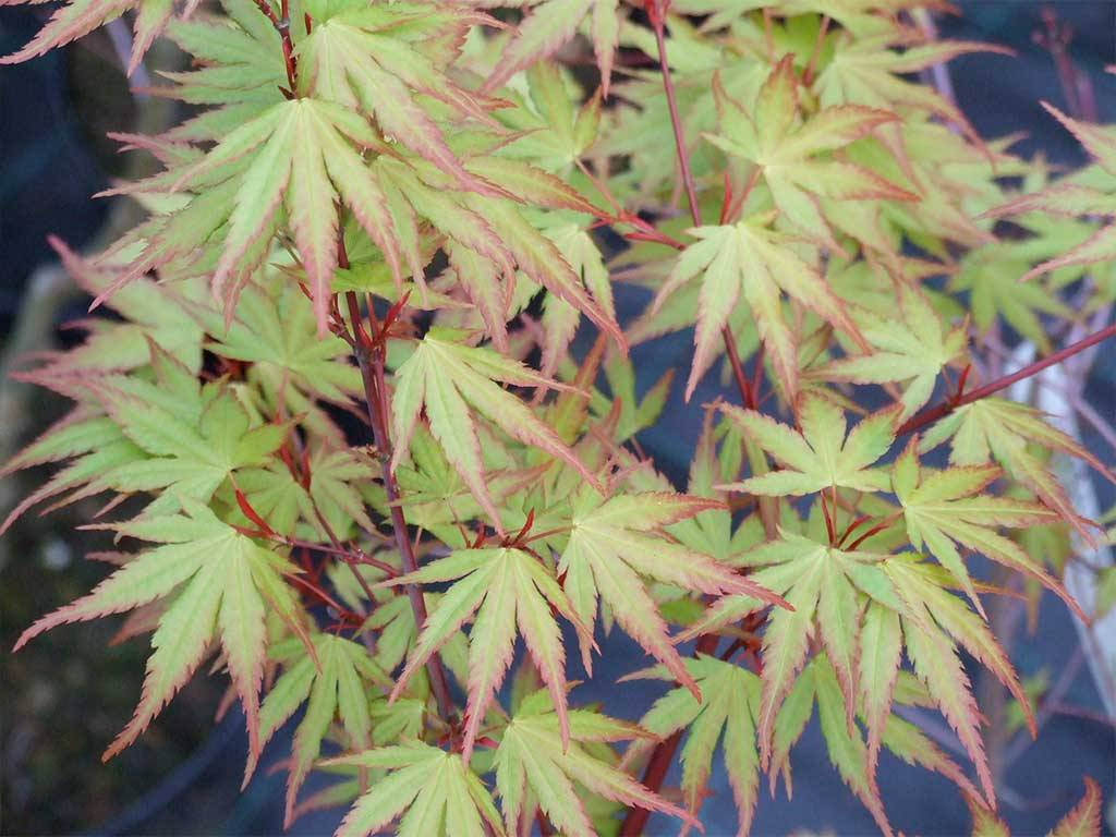 ACER - palmatum - Nishiki gawa