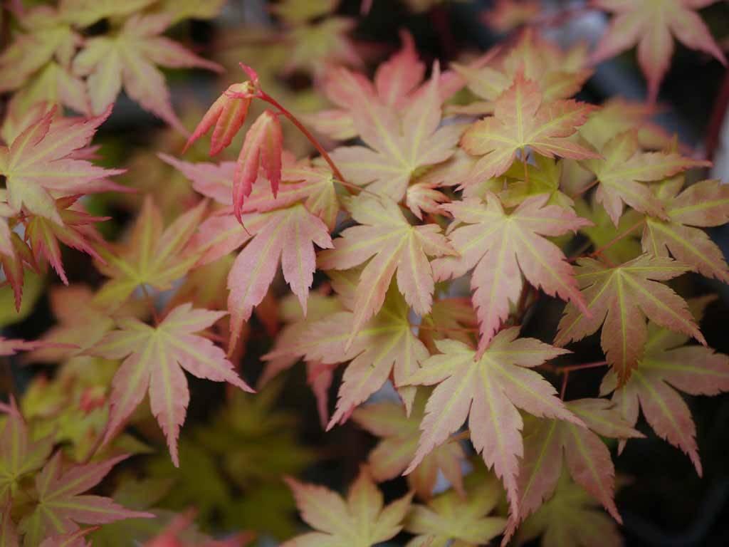 ACER - palmatum - Nishiki no Murasaki