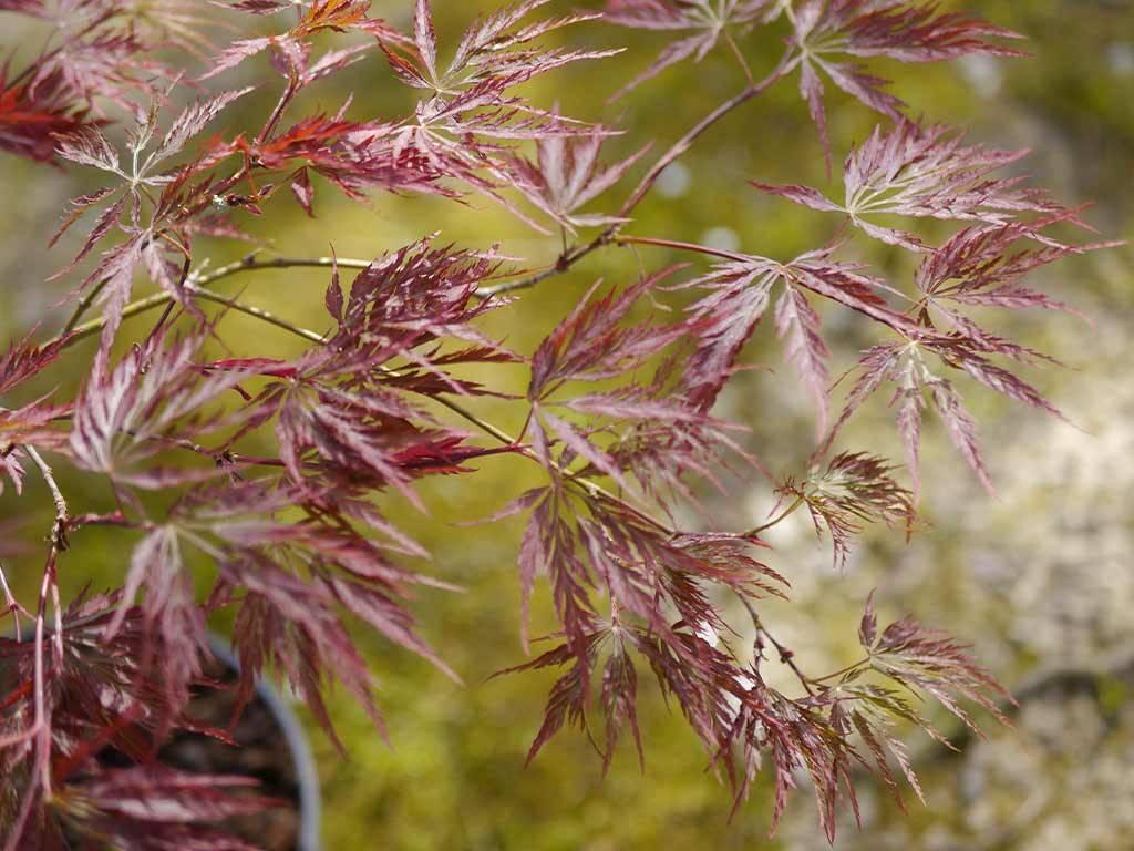 ACER - palmatum - Nomura shidare