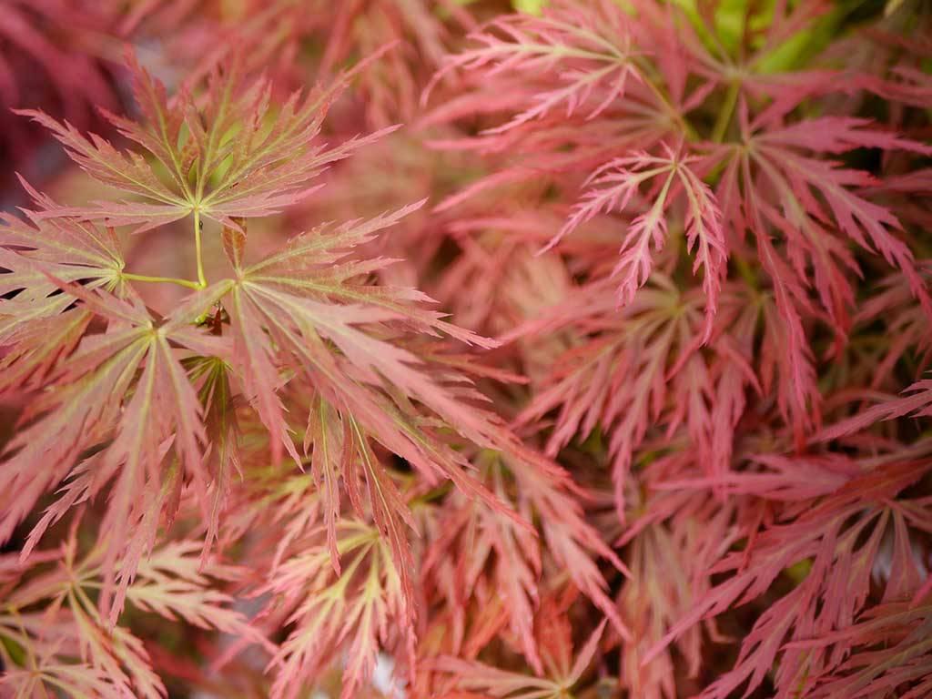 ACER - palmatum - Ogon shidare