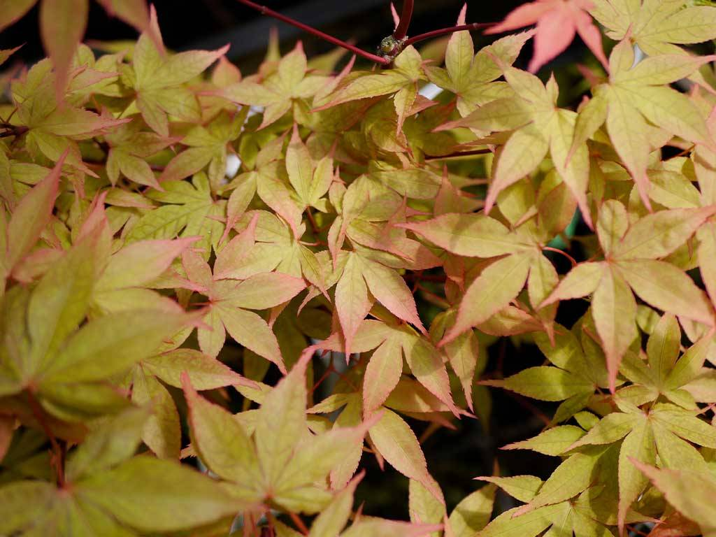 ACER - palmatum - Oiso nishiki