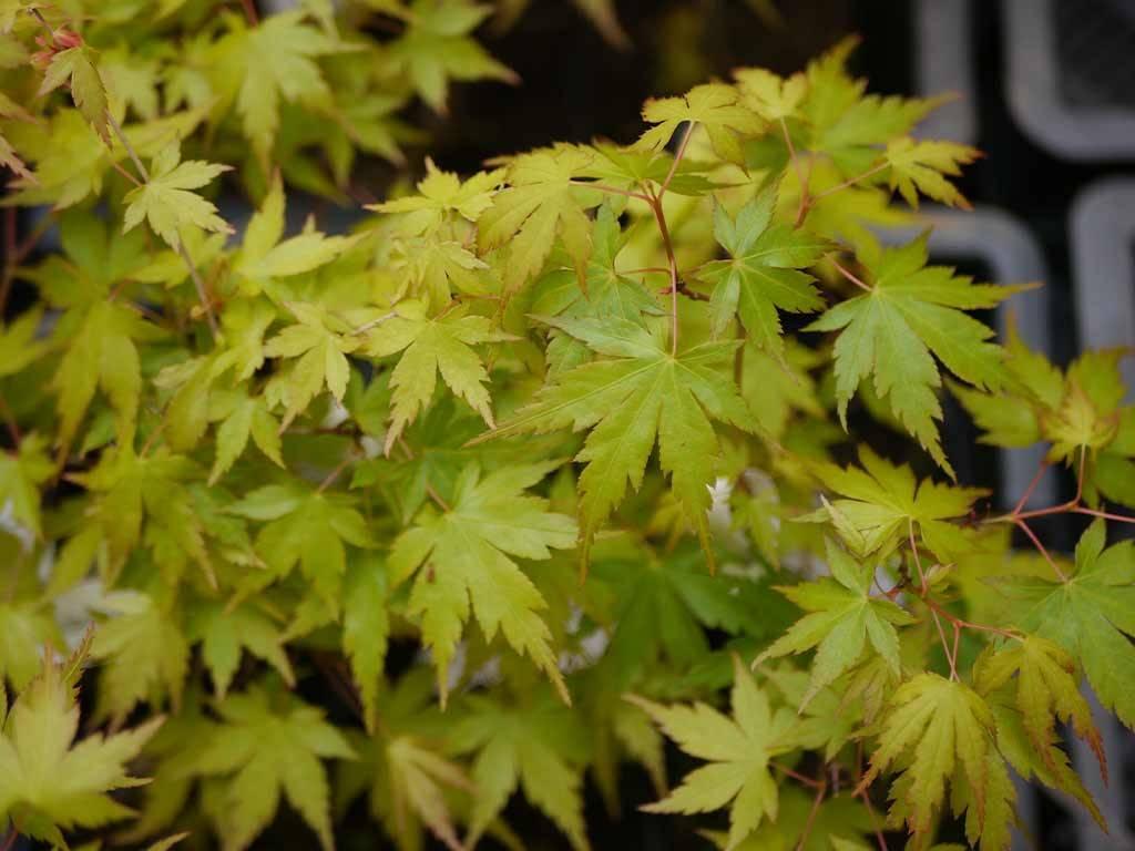 ACER - palmatum - Okina