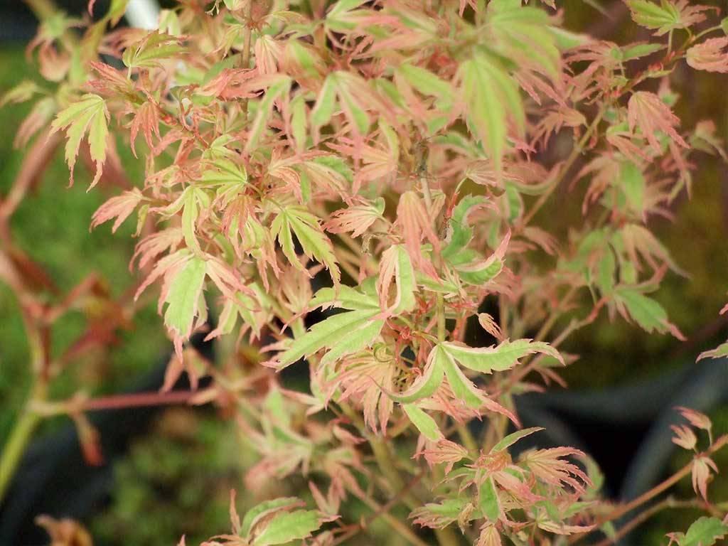 ACER - palmatum - Okukuji nishiki