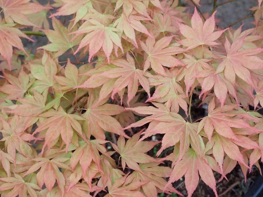 ACER - palmatum - Omato