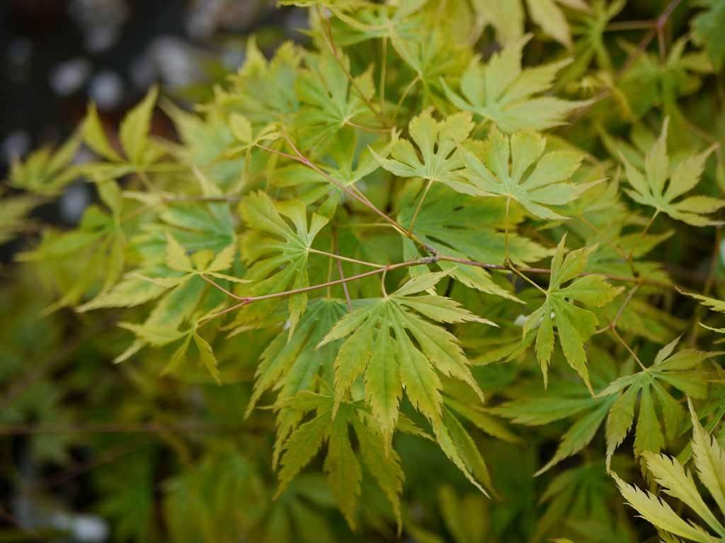 ACER - palmatum - Omure yama