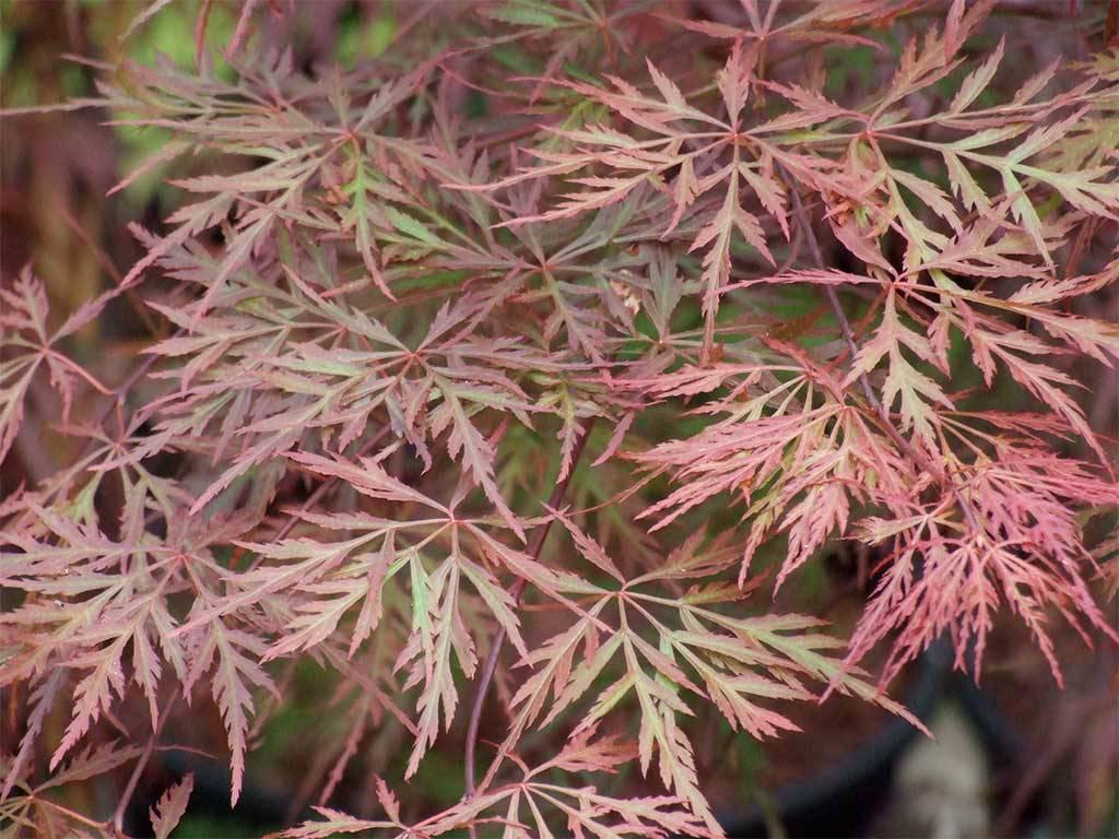 ACER - palmatum - Orangeola