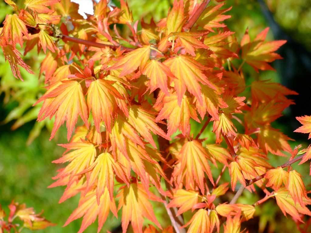 ACER - palmatum - Orange dream