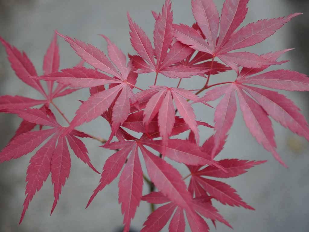 ACER - palmatum - Oshu beni