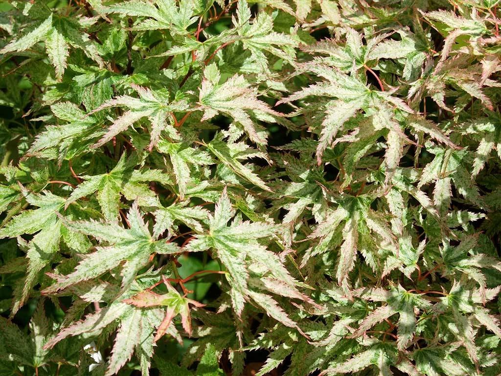 ACER - palmatum - Peve Multicolor