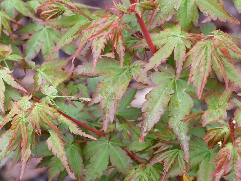 ACER - palmatum - Peve Chameleon