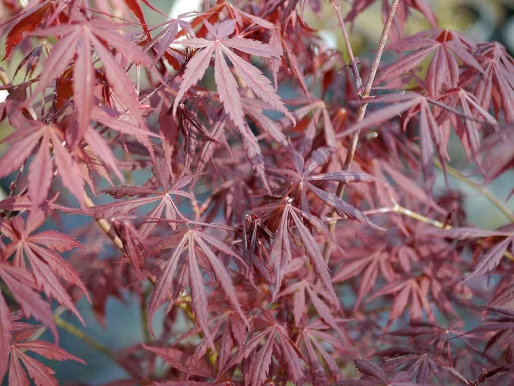 ACER - palmatum - Raigo ji