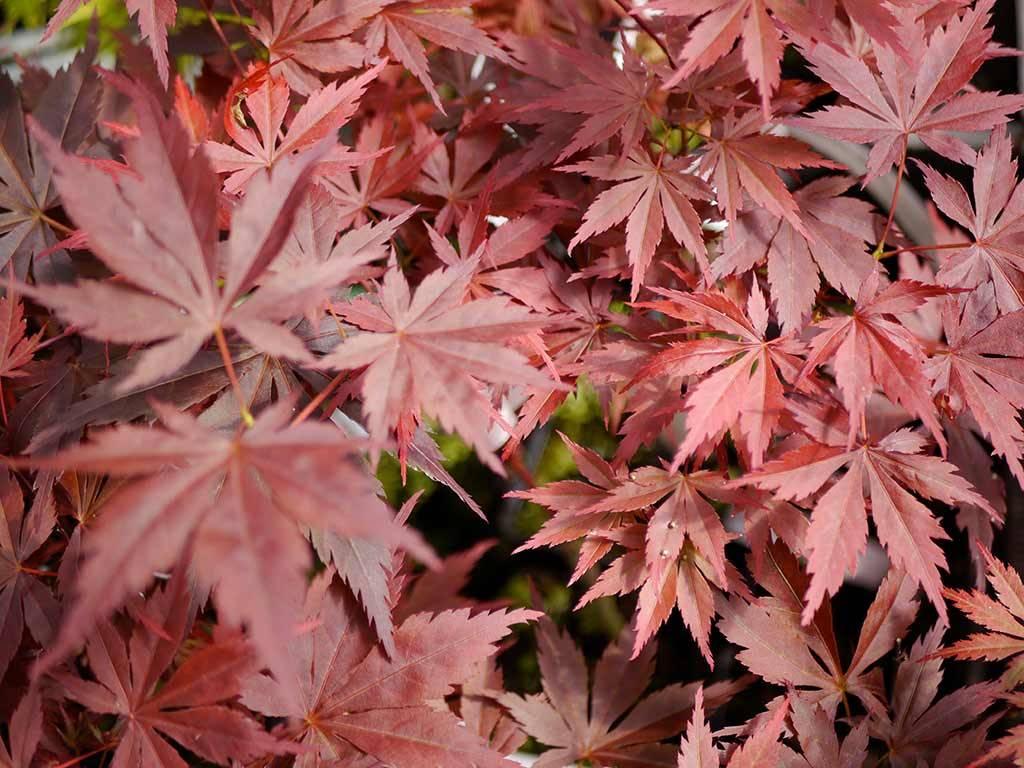 ACER - palmatum - Rainbow Red