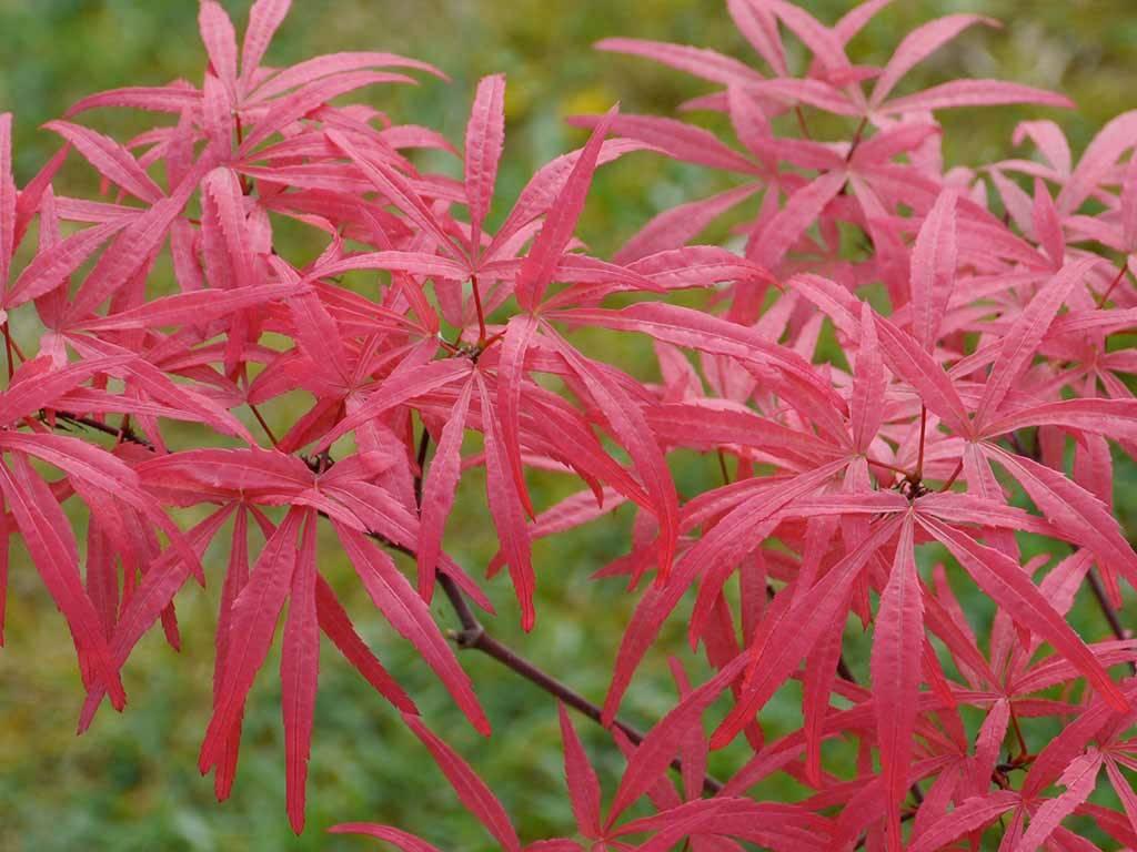 ACER - palmatum - Red Bamboo