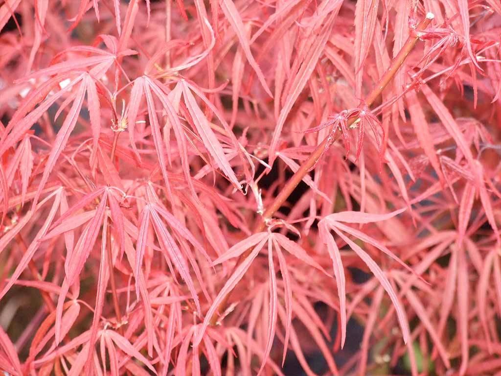 ACER - palmatum - Red Cloud