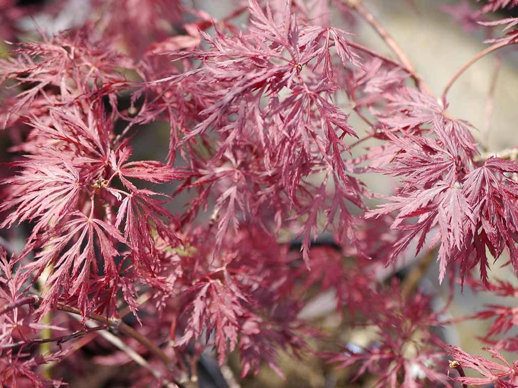 ACER - palmatum - Red Dragon