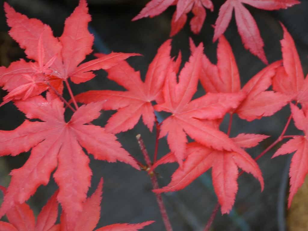 ACER - palmatum - Red Flash