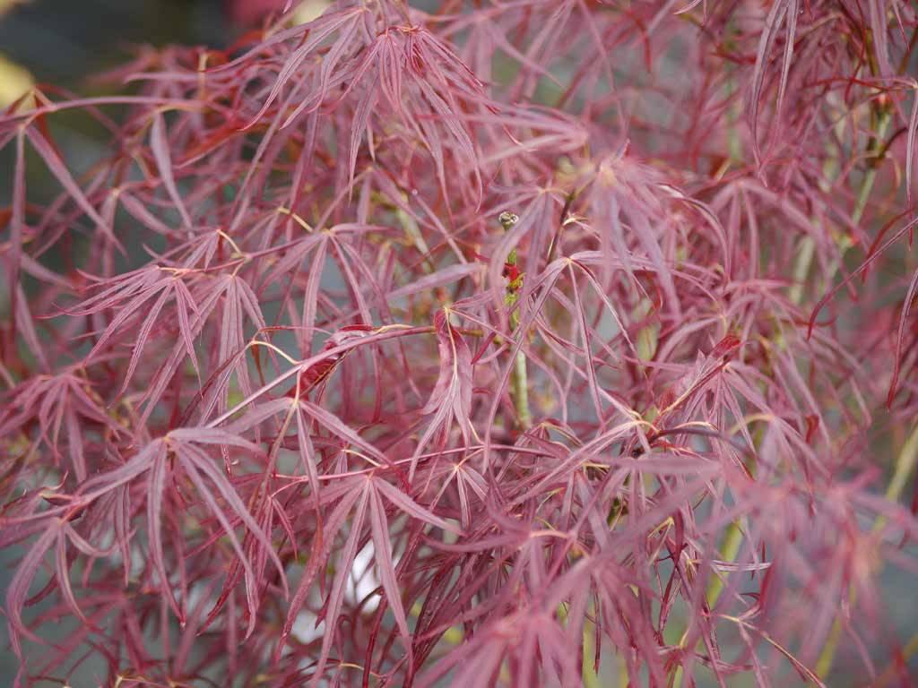 ACER - palmatum - Red Pygmy