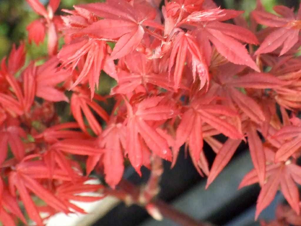 ACER - palmatum - Red Sentinel