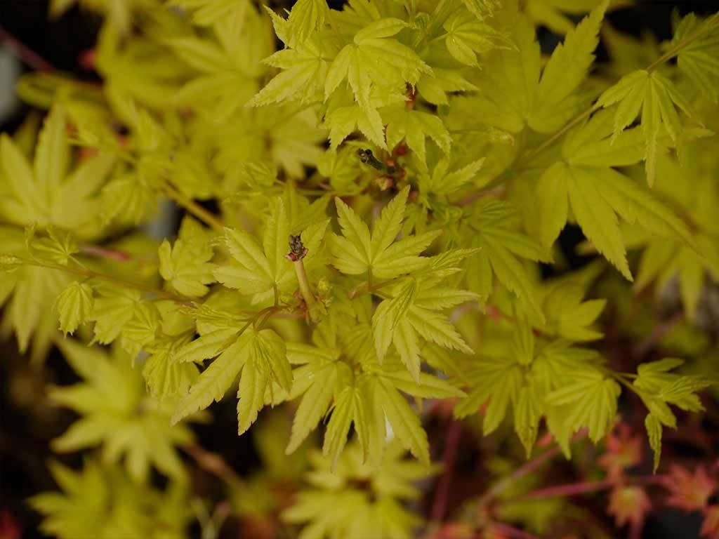 ACER - palmatum - Red Wood