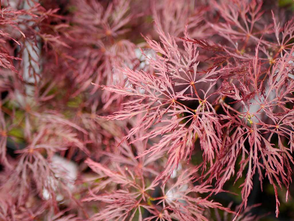 ACER - palmatum - Rilas Red