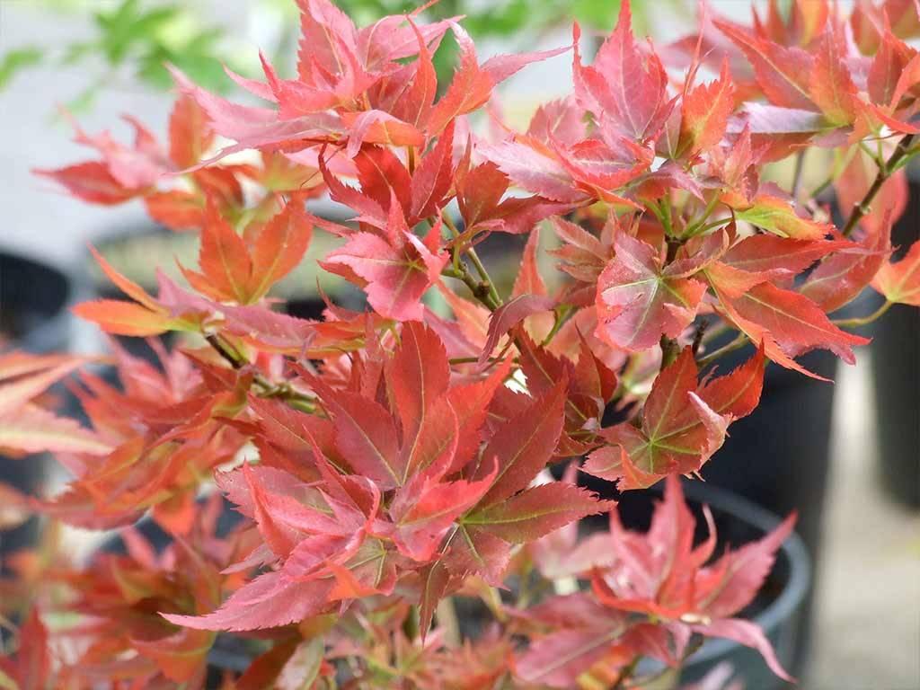 ACER - palmatum - Ruby Stars