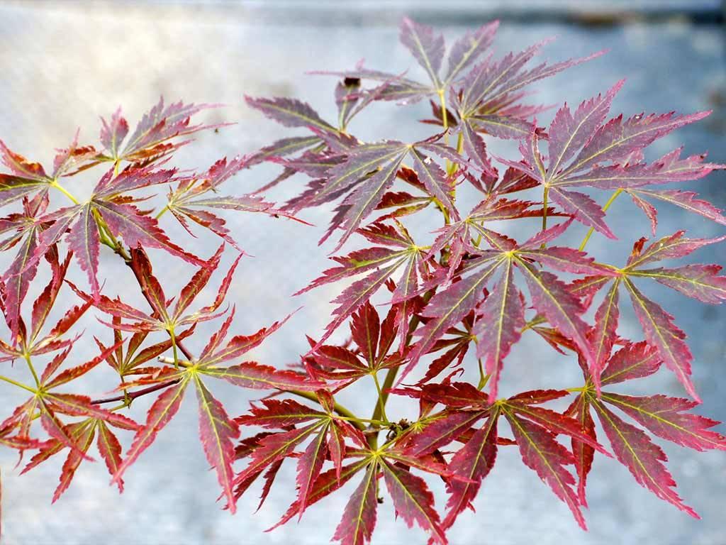 ACER - palmatum - Saho ji