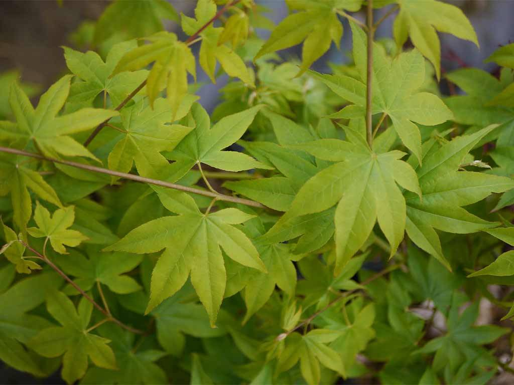 ACER - palmatum - Samidare