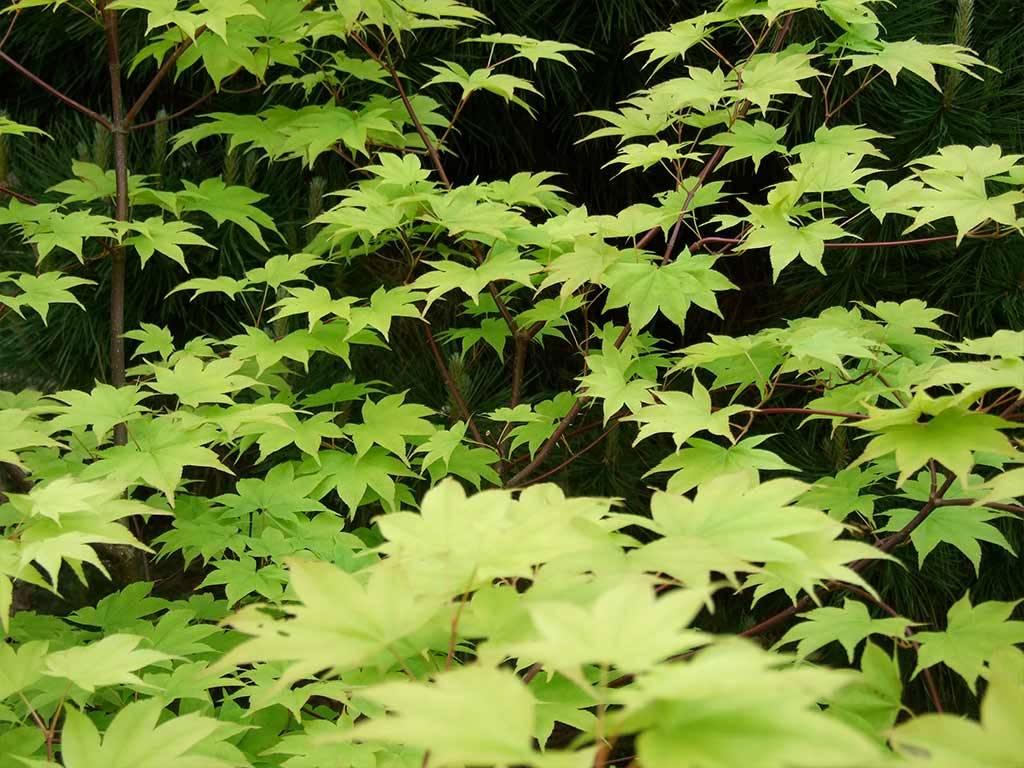 ACER - palmatum - Saoshika