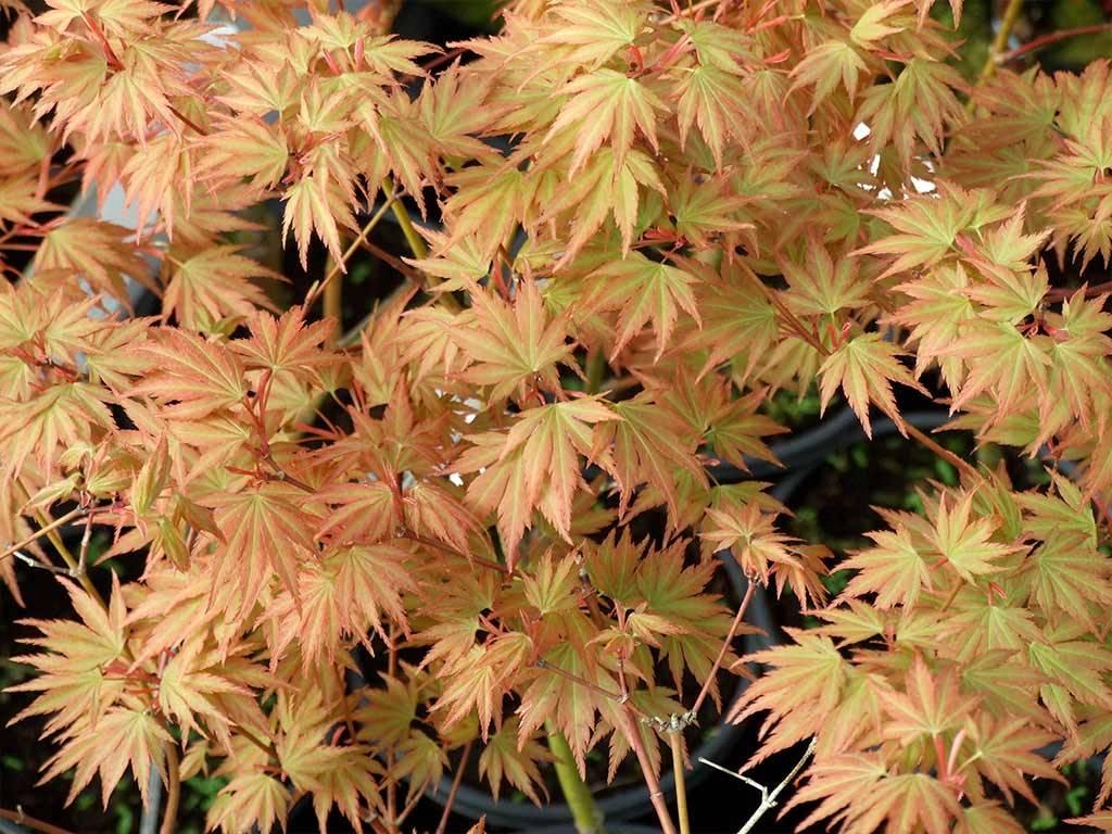 ACER - palmatum - Sazanami
