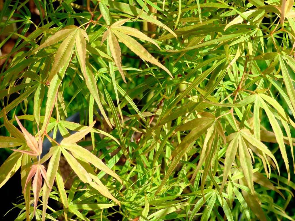 ACER - palmatum - Shino buga oka