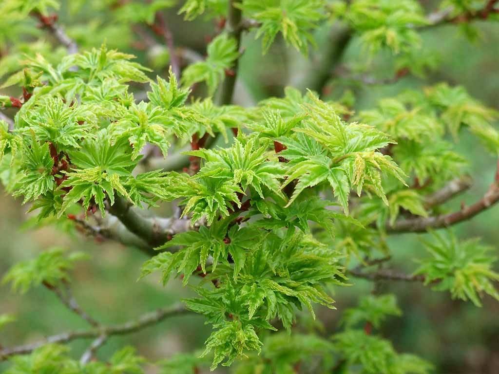 ACER - palmatum - Shishigashira
