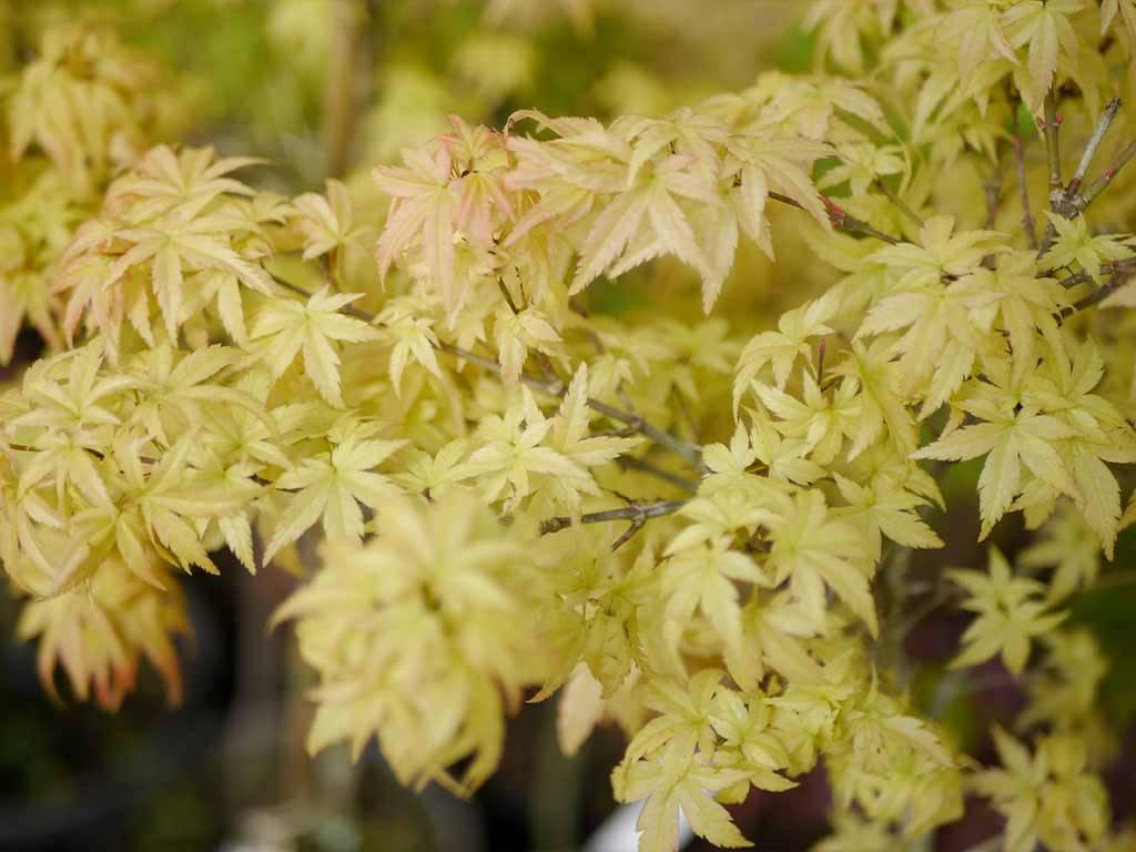ACER - palmatum - Sharp´s Pygmy